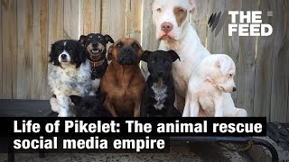 Life of Pikelet: The animal rescue social media empire