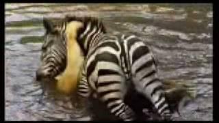 Zebra Drowning a Lion