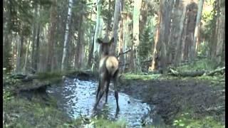 Baby Elk Dance