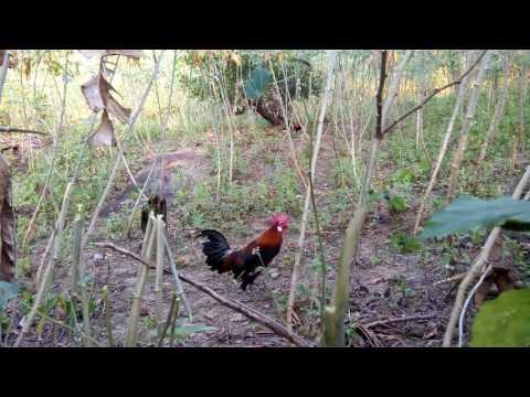 memikat ayam di ladang singkong dapat banyak