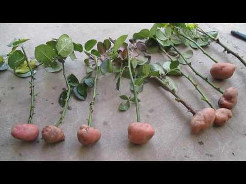 """Как вырастить розу из черенка: """"Проще простого!"""". лайфхак - VidoEmo - Emotional Video Unity"""