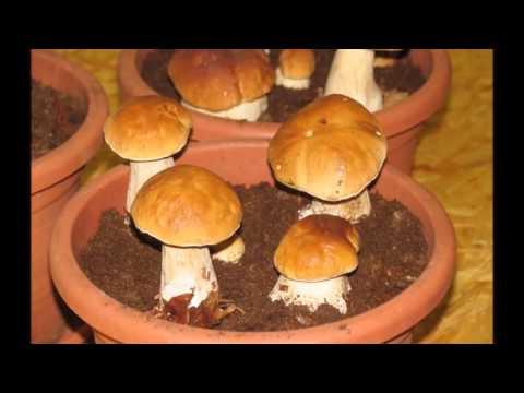 Как сажать мицелий грибов лисички 57