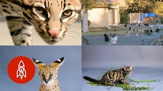 The Official Great Big Cat Video