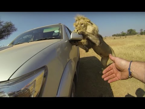 Lions Attack Car Full Of People