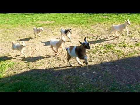 The Running of the Goats at Sunflower Farm