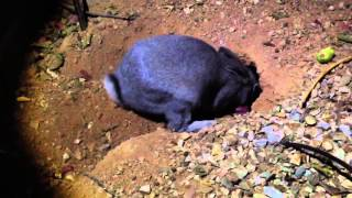 Mother Rabbit feeds 9 day old baby bunnies