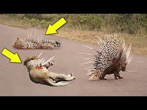 Xxx Mp4 Porcupine Too Danger Leopard Hunting Porcupine Big Cats The Wound Is Too Deep By The Poisonous 3gp Sex