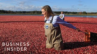 How Ocean Spray Harvests 220 Billion Cranberries A Year