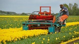 Tulpen koppen / Topping tulips in Holland