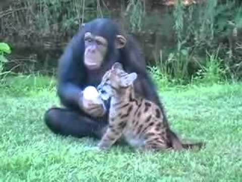 Chimpanzé adota filhote de puma