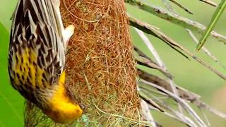 Weaver Bird Making His Nest - PART 9