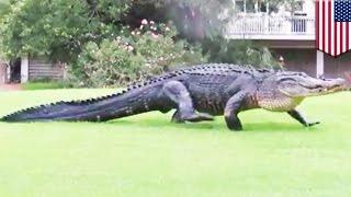 Buaya besar melenggang santai di lapangan golf - Tomonews