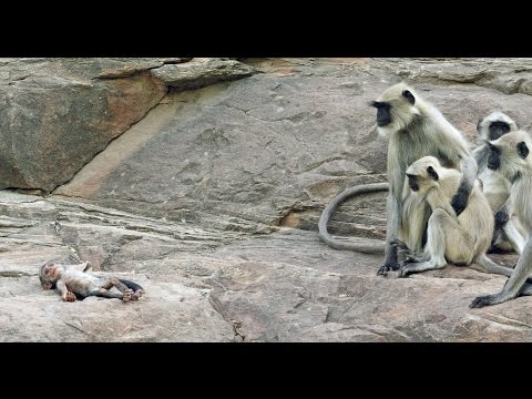 Xxx Mp4 Langur Monkeys Grieve Over Robot Monkey 3gp Sex