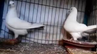 High Flying Kalduma Pigeons
