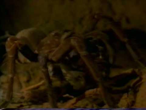 ARANHA GIGANTE DEVORA COBRA SERPENT and devoured by SPIDER