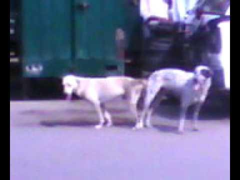 (jani maher)Dog sex on road.avi