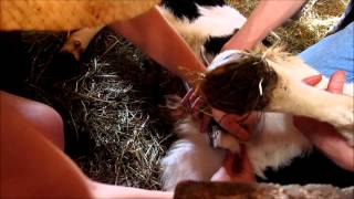 How to Castrate Calves using an Elastrator and a Burdizzo