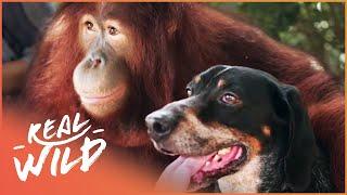 Oddest Friendships Between Animals | Animal Odd Couples | Real Wild