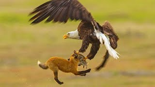 Fox Fights With Bald Eagle In MIDAIR