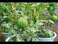 Download Video Download Como Plantar Melancia em vaso e na sua varanda  - A maneira correta!! 3GP MP4 FLV