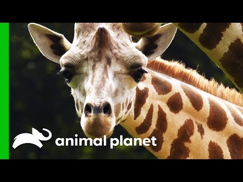 Male Giraffe Gets Ready To Move To The Bronx Zoo For Breeding Program The Zoo