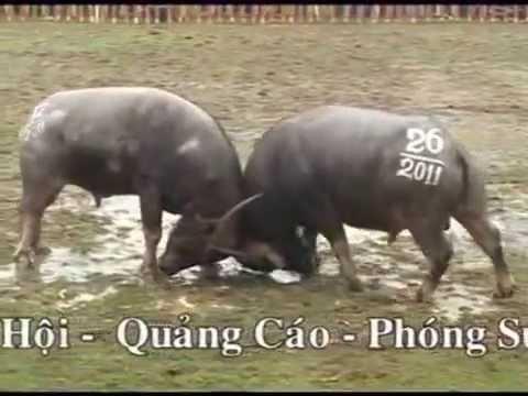 Le Hoi Choi Trau Hai Luu Vinhphuc 2011