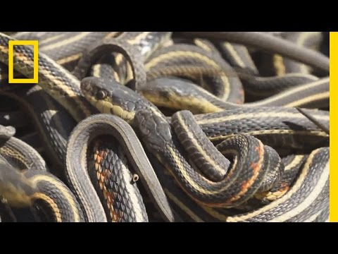 Too Much Sex Is Killing These Male Snakes | National Geographic