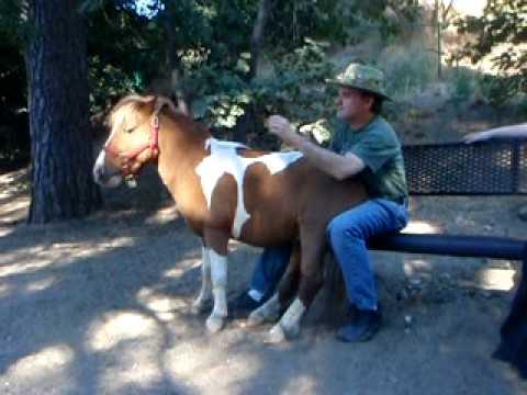 A Lap Full - Miniature Horse sits on man