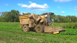 Harvesting Green Beans in Southern Michigan - September 2017