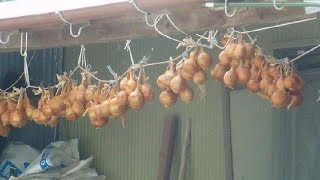 Hanging Up Onions in Japan!