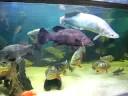 Samtha the Arapaima and friends in a 10 000 gallon tank