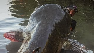 incredible huge catfish 85 feet  250 lbs  hd by catfishing world