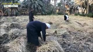 هكذا يحصد الفلاح الحساوي الرز بيده !! | سناب الاحساء