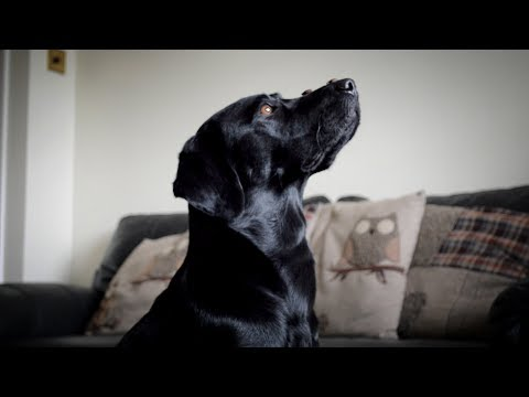 Xxx Mp4 25 Labrador Tricks 3gp Sex