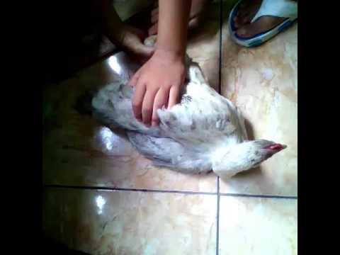 Ayam bokep