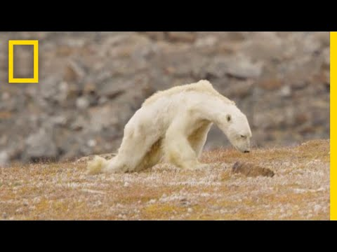 Heart Wrenching Video Starving Polar Bear on Iceless Land National Geographic