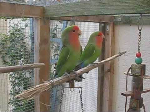 Peach Face Lovebirds Demonstrate their new tunnel