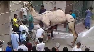 Camel qurbani 2016 speacial big  camal mashaallah