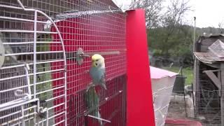 Budgie/Parakeet Outside(Bo)(Волнистых попугаев)