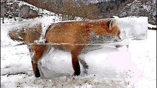 Hunter Discovers Frozen Fox Entombed In Ice In The Danube River, Southwest, Germany