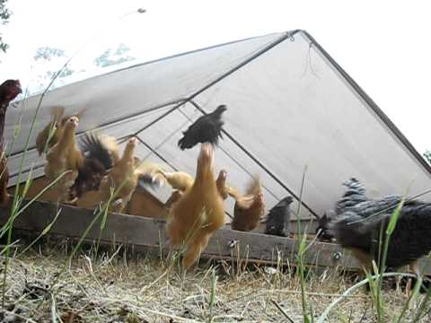 Chicken Exodus out of mobile chicken coop