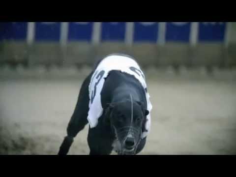 Le chien le plus rapide du monde : le lévrier greyhound [HD]
