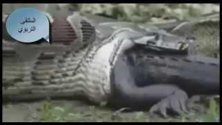 هل شاهدت أفعى الأنكوندا وهي تبتلع تمساح حى