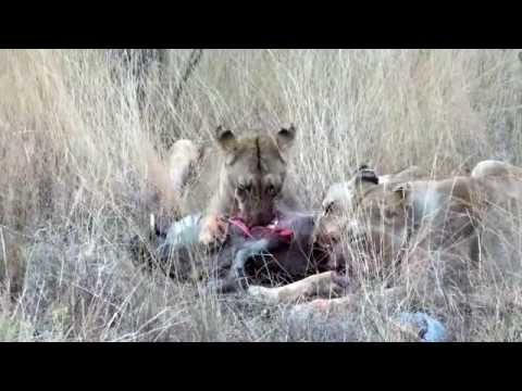 Lions feeding on a Warthog not for sensitive viewers