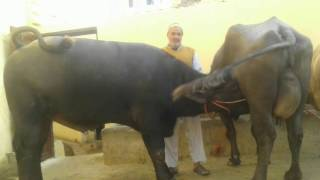 Murrah Male Buffalo 12 months age worth 15 lakhs INR