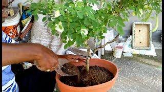 How to make bonsai with grow Aparajita plant ( with English subtitle )