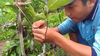 Grafting techniques guava plants by hotboy