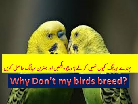 Why my Birds dont breed? Parindy breeding kiu nai karty? urdu हिंदी