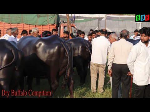 Xxx Mp4 Dry Murrah Buffalo Compitition At Meerut Uttar Pardesh 3gp Sex