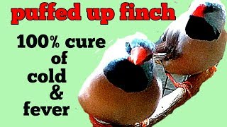Sick and puffed up finch- treat cold and fever( in Hindi/Urdu and English)